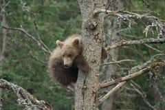 逗人喜爱的阿拉斯加的棕熊崽 库存照片