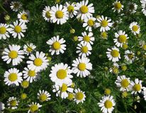 逗人喜爱的雏菊在我的庭院里 免版税库存图片