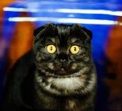 逗人喜爱的震惊猫 图库摄影