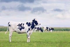 逗人喜爱的霍尔斯坦黑白花的小牛在一个绿色荷兰草甸 免版税库存图片