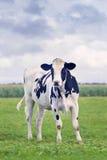 逗人喜爱的霍尔斯坦黑白花的小牛在一个绿色荷兰草甸 库存照片