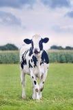 逗人喜爱的霍尔斯坦黑白花的小牛在一个绿色荷兰草甸 免版税图库摄影