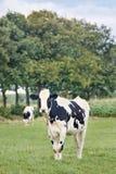 逗人喜爱的霍尔斯坦黑白花的牛在一个绿色荷兰草甸 库存照片