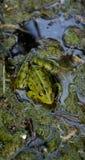 逗人喜爱的青蛙坐肮脏的海藻,在生活的意思反射 免版税库存照片
