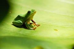 逗人喜爱的青蛙沼泽 库存图片