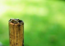 逗人喜爱的青蛙特写镜头掩藏的竹子 免版税库存照片