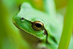逗人喜爱的青蛙绿色 免版税库存照片