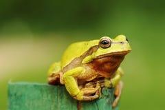 逗人喜爱的青蛙绿色结构树 免版税库存图片