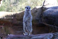 逗人喜爱的非洲meerkat 图库摄影