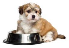 逗人喜爱的饥饿的Havanese小狗在金属食物碗旁边坐 免版税图库摄影