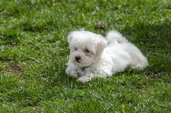 逗人喜爱的马尔他小狗 图库摄影