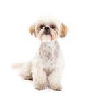 逗人喜爱的马尔他和长卷毛狗混合狗开会 免版税图库摄影