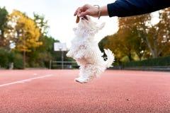逗人喜爱的马耳他狗jumpingin公园 免版税库存图片