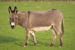 逗人喜爱的驴一 库存图片