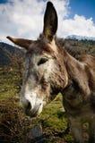 逗人喜爱的驴纵向 图库摄影