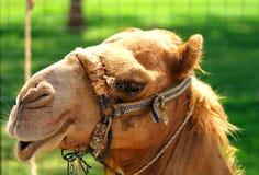 逗人喜爱的骆驼 免版税库存照片