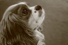 逗人喜爱的骑士国王查尔斯狗 免版税库存图片