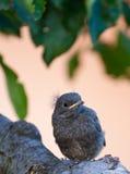 逗人喜爱的鸟一点 免版税库存照片