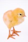 逗人喜爱的鸡一点 免版税库存图片