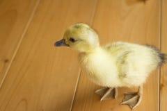 逗人喜爱的鸭子 免版税库存图片