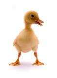 逗人喜爱的鸭子 库存照片