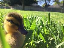 逗人喜爱的鸭子 图库摄影