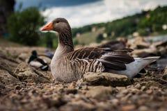 逗人喜爱的鸭子 免版税库存照片