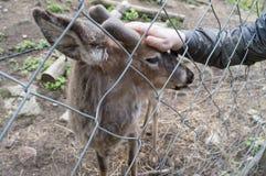逗人喜爱的鹿在一只人的手接触的芬兰动物园里 库存照片