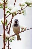 逗人喜爱的麻雀坐一棵苹果树的一个开花的分支在春天 苹果计算机开花花有很多明亮的光 免版税库存照片