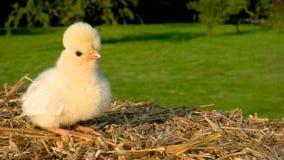 逗人喜爱的黄色小鸡坐干草捆外面在金黄夏天阳光下 股票视频