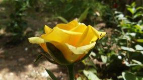 逗人喜爱的黄色罗斯花 免版税库存图片