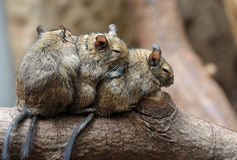 逗人喜爱的黄鼠 库存照片