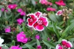 逗人喜爱的黑暗的桃红色石竹蟾蜍花,甜威廉,石竹barbatus 免版税库存图片