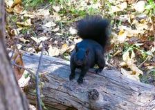 逗人喜爱的黑灰鼠-阿尔伯塔,加拿大的接近的图象 库存照片
