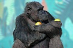 逗人喜爱的黑猩猩 免版税图库摄影