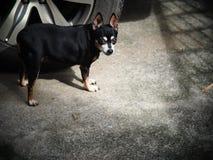 逗人喜爱的黑肥胖可爱的微型pincher狗 免版税库存图片