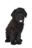 逗人喜爱的黑色俄国狗小狗 免版税库存图片