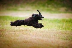 逗人喜爱的黑色狮子狗运行中 免版税库存图片