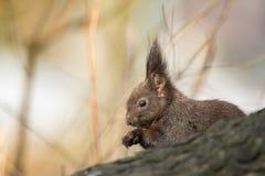 逗人喜爱的黑squirrell 免版税库存照片