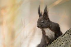 逗人喜爱的黑squirrell 库存图片