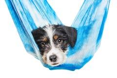 逗人喜爱的1个月大硬毛的起重器罗素混合小狗 图库摄影