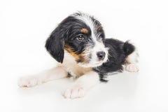 逗人喜爱的1个月大硬毛的起重器罗素混合小狗 库存照片
