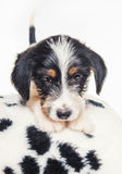逗人喜爱的1个月大硬毛的起重器罗素混合小狗 免版税库存图片