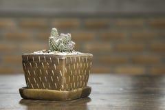 逗人喜爱的仙人掌罐 在木桌上的小仙人掌在房子里 库存照片