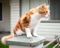 逗人喜爱的年轻姜和白色在柱子栖息的虎斑猫 库存照片