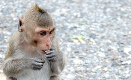 逗人喜爱的猴子在泰国的一个自然森林居住 图库摄影