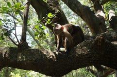 逗人喜爱的猴子坐树 免版税库存图片