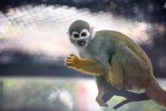 逗人喜爱的猴子灰鼠 库存图片