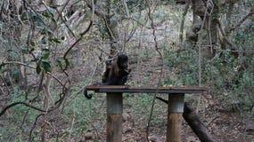 逗人喜爱的猴子用餐用果子,南非 免版税库存图片