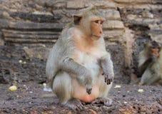 逗人喜爱的猴子 免版税图库摄影